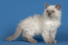 4 Reasons Why Choosing Curly Haired Cat Breeds as Your Pet Curly Haired Cat, Curly Cat, Beautiful Cat Breeds, Beautiful Cats, Selkirk Rex Kittens, Ragdoll Cats, Flat Faced Cat, Laperm, Domestic Cat Breeds