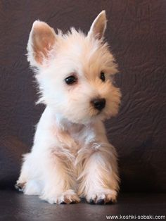West Highland Terrier puppy - For Dog Lovers - Chien Westie Puppies, Westies, Cute Puppies, Cute Dogs, Dogs And Puppies, Doggies, Terrier Puppies, West Highland Terrier Puppy, Bichons