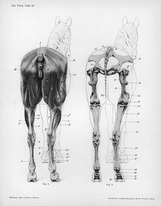 These are caudal views (from the rear) of the hindlimbs displaying the musculoskeletal system.  Citation:  Ellenberger, Wilhelm, Hermann Baum, and Hermann Dittrich. 1898. Handbuch der Anatomie der Tiere für Künstler. Leipzig: Dieterichsche Verlagsbuchhandlung.