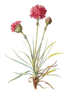 Antique Image: Wildflower Stock Image Botanical Flower Clip Art