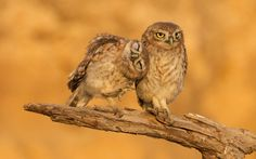 Fledgling little owls cuddle up to each other in the Judean Desert in Israel Picture: Amit Haas/Mercury