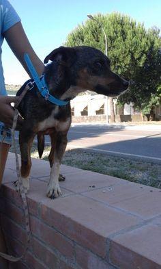 Adopta a Chispa ( Mestizo ) - #adopta #perros