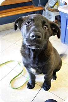 Nelson, BC - Chow Chow/Labrador Retriever Mix. Meet Boss, a puppy for adoption. http://www.adoptapet.com/pet/18294850-nelson-british-columbia-chow-chow-mix