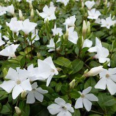 Vinca+minor+White+Power+-+Pervenche+à+petite+fleurs