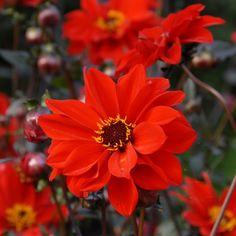 Bishop of Landaff' ist ein echter Dahlien-Klassiker. Die Kombination aus dem leuchtenden Rot der Blüte und den dunklen Blätter macht sie einzigartig schön. Pflanzzeit für die Knollen ist im Frühling - online bestellbar bei www.fluwel.de