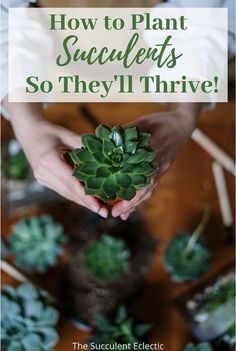 Succulents are easy to grow - when you get them off to the right start. Learn how to plant succulents so they'll thrive! Get the right soil, pot and procedure to ensure your succulents are set to be healthy and happy! Learn to plant succulents like a pro!  #succulents #howtoplantsucculent #succulentcare Growing Succulents, Succulents In Containers, Planting Succulents, Decorative Pebbles, Succulent Soil, House Plant Care, Unique Plants, Echeveria, Houseplants