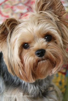 Teacups and Ponies: Yorkie Stories