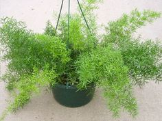 Asparagus densiflorus asparagus fern plume asparagus foxtail fern is an evergreen perennial plant closely related to the vegetable asparagus and native Asparagus Fern Care, Asparagus Plant, Patio Plants, Outdoor Plants, Garden Plants, Fern Houseplant, Fern Plant, Ferns Care, Exotic Flowers