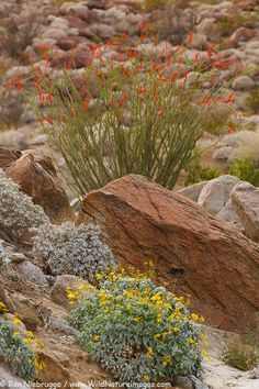Pictures of Wildflowers: Ocotillo and Brittlebush bloom in Anza-Borrego State Park, California