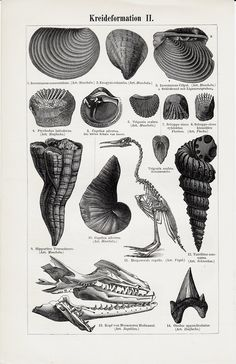 antique print, Jurassic formation shells and bones, 1896