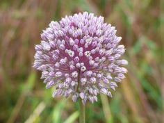 And this is a wild garlic flower: