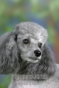 silver+toy+poodle | ... Photography image of Toy Poodle , silver stock photo pd2103519.jpg