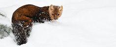 Photo by Jeff Wendorff. American Marten, Animals, Animales, Animaux, Animal, Animais, Dieren