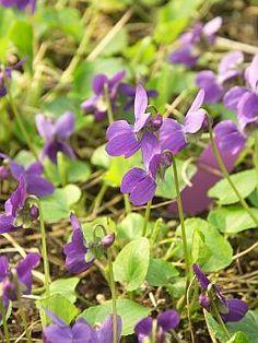 Viola odorata 'Donau'