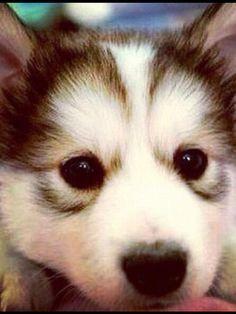 Little cute husky