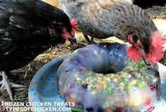 Excellent DIY chicken toys which your chickens will enjoy to play with. Easy to build, and perfect way to keep your chickens entertained. Types Of Chickens, Keeping Chickens, Pet Chickens, Raising Chickens, Diy Toys For Chickens, Diy Chicken Toys, Chicken Pen, Chicken Treats, Diy Chicken Feeder