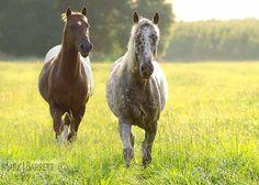 Appaloossa stallion and mare.
