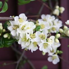 Buy flowering quince Chaenomeles speciosa Nivalis - Excellent pure white flowers: 3 litre pot: Delivery by Crocus Long Flowers, Small White Flowers, Unusual Flowers, Cream Flowers, Winter Flowers, Pretty Flowers, Yellow Flowers, White Gardens, Small Gardens