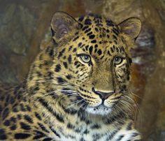 llbwwb: Amur Leopard (by Theresa Elvin) All sizes | Amur Leopard | Flickr - Photo Sharing!