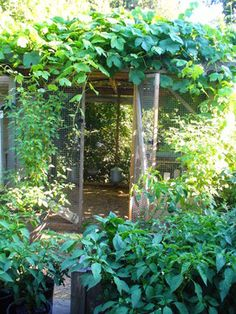 chickens in the garden - coop covered in grape vines to keep chickens cool in the summer
