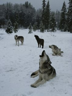 Group of Gray Wolves, Canis Lupus, Howl in Unison Photographic Print by Jim And Jamie Dutcher at AllPosters.com
