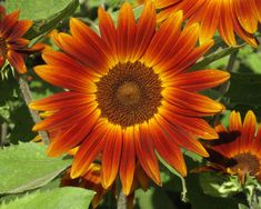 Little Becka sunflower This is a dwarf annual that reaches 12 inches tall. It spreads by seeding the area after flowering. If you want to contain the spread of this flower, clip the heads before the seeds mature. Dwarf Sunflowers, Planting Sunflowers, Sunflower Pictures, Annual Flowers, Flower Farm, Sunflower Seeds, Easy Garden, Zinnias, All The Colors