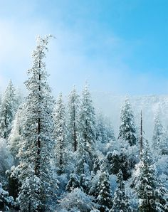✯ Snow Covered Trees - Yosemite National Forest