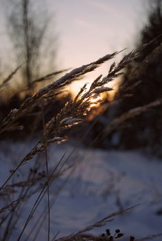 winter #winter #finland #sunset #macro #photography #grass #bokeh #snow