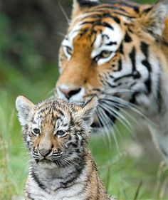 Amur tiger Elena stands behind of one of her three cubs in an enclosure at the zoo in Zurich