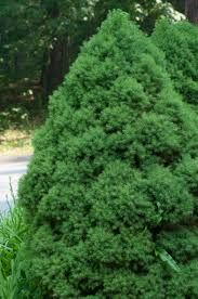 Hinoki cyress a guide to northeastern gardening for Small slow growing evergreen trees