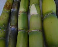 Sugar Cane grown for chewing - plants for sale by Rev. Hector Grant, entrepreneur
