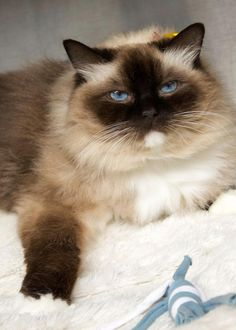 Persian Cat Rescue St Louis Mo
