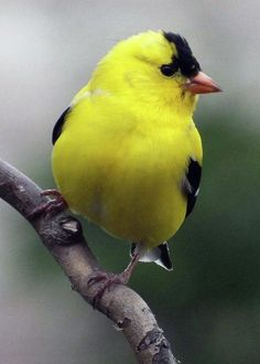 Male American Goldfinch by Cindy Treger