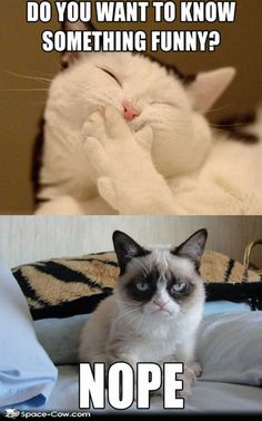 Funny grumpy cat - cats picture