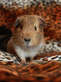 Cheeky Face, cute little guinea pig