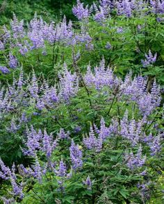 Name: Chaste tree (Vitex agnus-castus and cvs.) Zones: 6 to 9 Size: 8 to 15 feet tall and 12 to 20 feet wide Conditions: Full sun; well-drai...