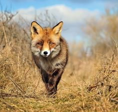 European Fox #3 (Vulpes vulpes) by Foto Foosa on 500px