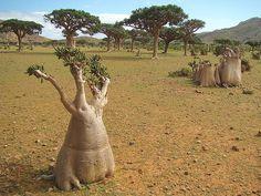bottle tree in yamen national park