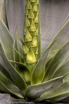 Agave, by Dennis S. Agaves, Nature Plants, Air Plants, Garden Plants, Cacti And Succulents, Planting Succulents, Planting Flowers, Succulent Ideas, Ikebana