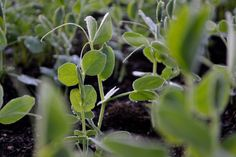 Peas, sown in July, Sweden. #kitchengarden #growfood #garden #gardening #potager #vegetables