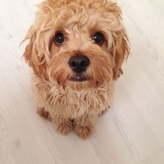 Sundae the cavoodle. #cavoodle #cavapoo #poodle #puppy