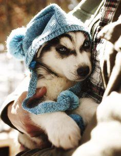 husky puppy keeping warm :)