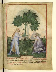 Nouvelle acquisition latine 1673, fol. 42, Récolte du raifort. Tacuinum sanitatis, Milano or Pavie (Italy), 1390-1400.