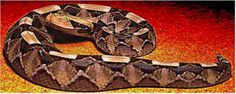 GABOON VIPER The largest African viper, this snake has a striking coloration and pattern that nevertheless offers it camouflage. Specimens may exceed 6 feet (2 m) and 15 pounds (6.8 kg). The fangs of a large adult may exceed two inches (5 cm) in length.