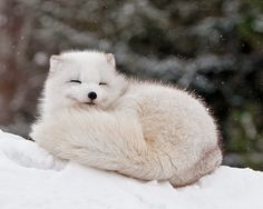 Lily and her family are arctic foxes.