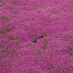 Red Creeping Thyme (Thymus cr. praecox 'Coccineus' - Jeepers Creepers USA