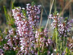 El Blog de La Tabla: Color rosado para el otoño: Erica multiflora L.