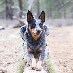 Those hips don't lie. #thebestofbend #exploreoregon #BestOfOregon #getoutside #cattledog #bestwoof #inbend #ruffpost #dingosinthewild #nubbinpower #adventuredog #cattledogcrew #mansbestfriend #weeklyfluff #dogsofinstagram #heelergram #pnw #OptOutside #heelerclub #amazing_picturez_animals #AdventureCulture #backcountrypaws