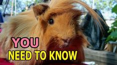 Peruvian Guinea Pig: Things You Need to Know About This Breed Guinea Pig Breeding, Guinea Pig Food, Baby Guinea Pigs, Guinea Pig Care, Peruvian Guinea Pig, Pig Facts, Guinea Pig Accessories, Flower Decorations, Healthy Recipes