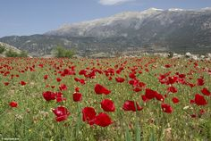 Poppy field above Anopolis - click to enlarge